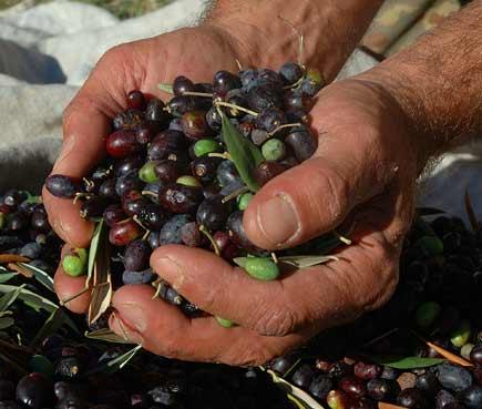 Un pugno di olive Taggiasche appena raccolte