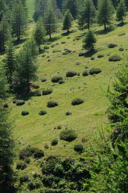 abeti sulle Alpi Marittime fotografati quest'estate