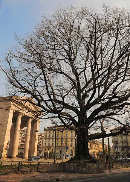 Milano, albero in piazza 24 maggio