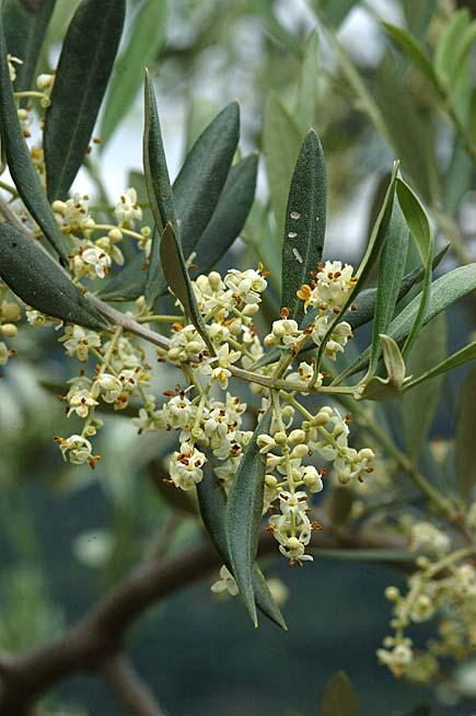 fiori di ulivo