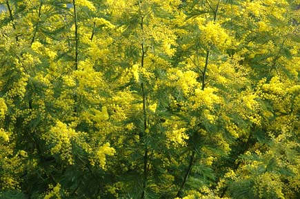 mimose in Liguria