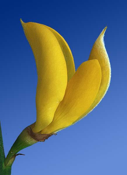 ginestra selvatica (Spartium junceum)